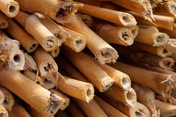 bambu seco